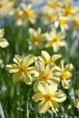 Spring Daffodils Stock Images - 13910224
