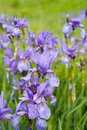 Close-up Of Iris Plant Royalty Free Stock Photo - 13955945
