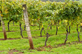 Rows Of Trained And Supported Vines Royalty Free Stock Image - 13963786