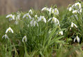 Snowdrops Royalty Free Stock Images - 13969949