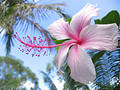 Hibiscus Royalty Free Stock Photography - 147287