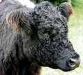 Galloway Cow 1 Stock Image - 1407291
