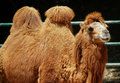 Camel Royalty Free Stock Photo - 14005515