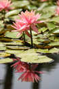 Water Lily In A Pond Royalty Free Stock Photos - 14011538