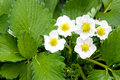 Strawberry Blossoms Royalty Free Stock Photos - 14030258