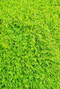 Exploding Vivid Green Shrub Hedge Royalty Free Stock Images - 14041499