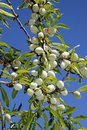 Almond Tree Stock Photography - 14045912