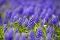 Grape Hyacinth Stock Photography - 14049902