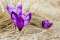 Blossoming Crocuses Stock Photo - 14053360