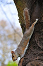 Squirrel Hanging On Tree Royalty Free Stock Photos - 14060308