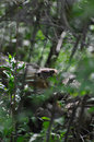 Groundhog In Woods Royalty Free Stock Photos - 14063438