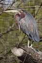 Green Heron Stock Photography - 14065012
