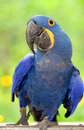 Blue Parrot Stock Image - 14087801