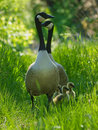 Barnacle Goose Stock Image - 14089751