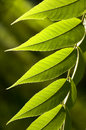 Green Leaves Royalty Free Stock Photography - 14093277
