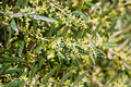 Olive Tree In Bloom Stock Images - 14093474