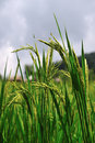 Rice Field Stock Photos - 14098423