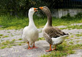 Geese Stock Image - 14099071