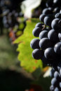 Grapes Royalty Free Stock Photos - 1415088