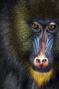 Close Up Of Male Mandrill Stock Image - 1418971
