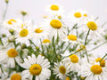 Lovely Camomiles Stock Image - 14102401