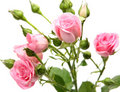Pink Roses Royalty Free Stock Photography - 14102407