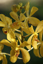 Wild Orchids. Borneo. Royalty Free Stock Photos - 14102498