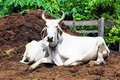 Cattle In Thailand Royalty Free Stock Photos - 14103288