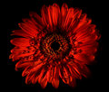 Gerbera Royalty Free Stock Photo - 14107545