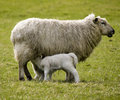 Sheep With Lambs Royalty Free Stock Images - 14111759