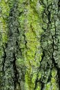 Moss On Oak Stock Photography - 14112342