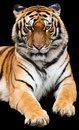 Tiger Royalty Free Stock Image - 14115086