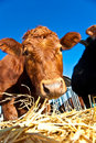 Friendly Cattle On Straw Royalty Free Stock Images - 14116539