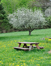 Flowering Tree With Picnic Table Royalty Free Stock Photo - 14129835