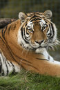 Tiger Royalty Free Stock Photography - 14135797