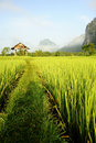 Rice Fields Royalty Free Stock Photos - 14138898
