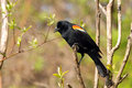 Red-winged Blackbird Male Royalty Free Stock Images - 14139239