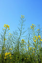 Rapeseed Flower Field Royalty Free Stock Images - 14141399