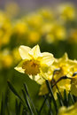Yellow Daffodils Blooming In Spring Royalty Free Stock Photo - 14143325