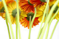 Many Beautiful Gerberas Stock Photography - 14145042