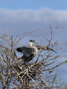 Great Blue Heron Stock Images - 14152174