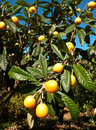 Loquats Stock Photography - 14157092