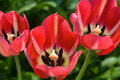 Red Tulips Royalty Free Stock Photography - 14159717