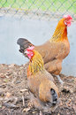 Chicken Royalty Free Stock Photography - 14161067