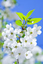 Branch Of Flowering Cherry Stock Images - 14161244