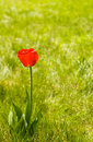 Alone Flower Tulip Outdoor. Copy Space Stock Image - 14162161