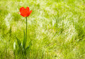 Alone Flower Tulip Outdoor. Copy Space Royalty Free Stock Images - 14162209