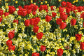 Red Tulips Display In St James Park London Royalty Free Stock Photo - 14169945