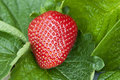 Strawberry On The Seedling Stock Photo - 14172050