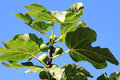Green Figs In The North Of Italy Royalty Free Stock Photography - 14173447